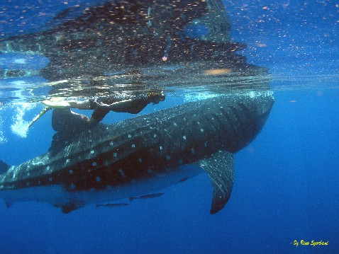 PICTURE WHALE SHARK ADVENTURE